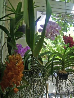 Alo associazione laziale orchidee roma coltivazione for Orchidee in casa